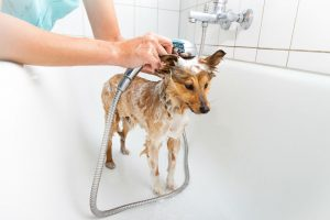 Can you use a human shampoo on dogs? Facts about dog shampoos