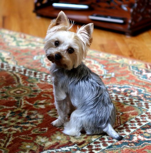 5 best dog breeds for condo owners
